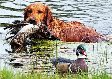 golden retrievers to hunt duck golden retrievers