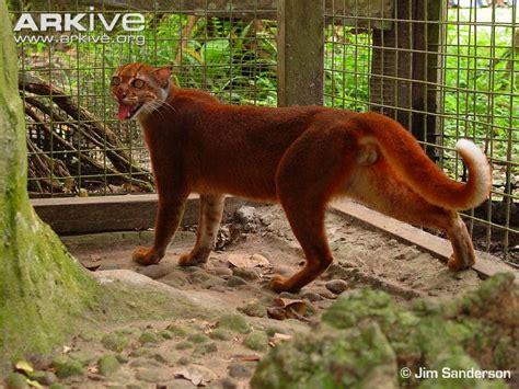 Batu Borneo Langka Ada Platina penemuan kucing langka berwarna merah di hutan kalimantan
