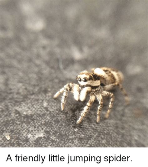 Friendly Spider Meme Picture Webfail - 25 best memes about jumping spider jumping spider memes