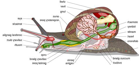 diagram of land snail snail anatomy images