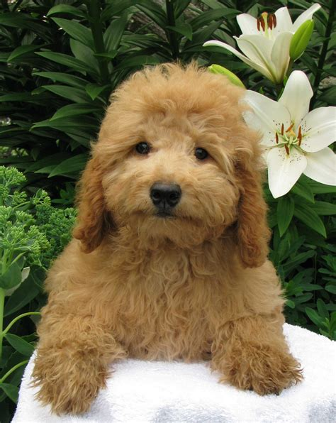 goldendoodle puppies for sale canada 1goldendoodle goldendoodle goldendoodle