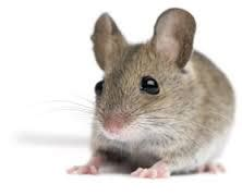 how to get rid of mice in house how to get rid of mice in your house best way to kill these hair style 2017 trends