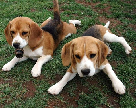 american best puppies american foxhound facts temperament puppies pictures