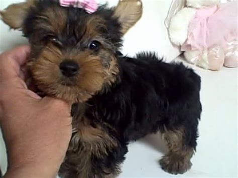 yorkie puppies for sale in cleveland ohio ohio for sale puppies for sale part 3