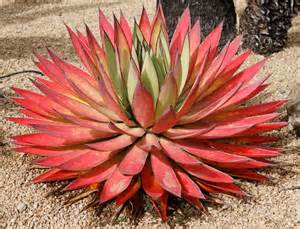 agave blue glow in the garden succulent plant pinterest agaves search and ps