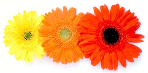 Gerbera Designs Xl Messenger by Free Colours In Gerbera Stock Photo Freeimages