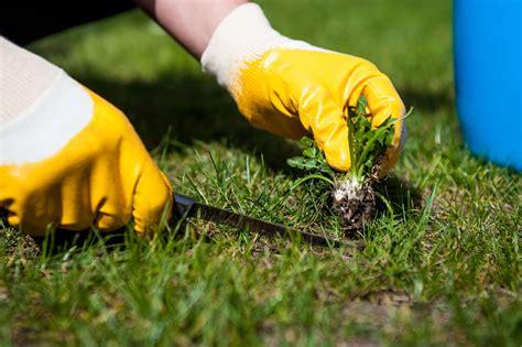 Hausmittel Gegen Unkraut Im Rasen 6732 by Unkraut Im Rasen Unkrautvernichter Alternativen Plantura