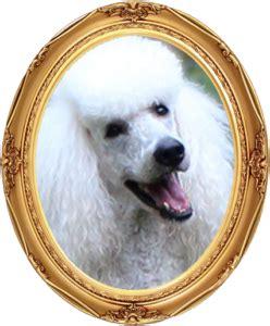 greensboro golden retriever rescue standard poodle breeders greensboro nc photo
