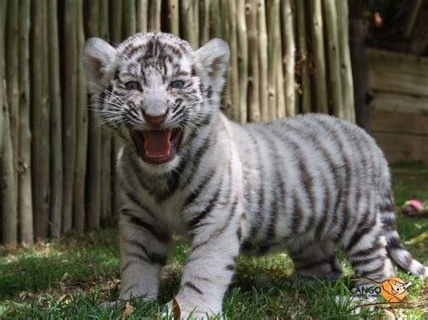 baby white tiger cubs white tiger cub wallpapers wallpaper cave