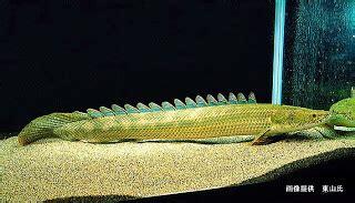 Pakan Pelet Ikan Predator ikan palmas ikan naga akuarium ikan hias