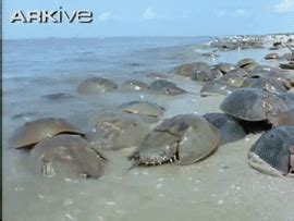 gif format details horseshoe crab gif create discover and share on gfycat
