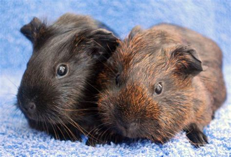 guinea pigs guinea pigs photo 15107697 fanpop