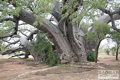 bigw trees sagole big tree in venda baobab