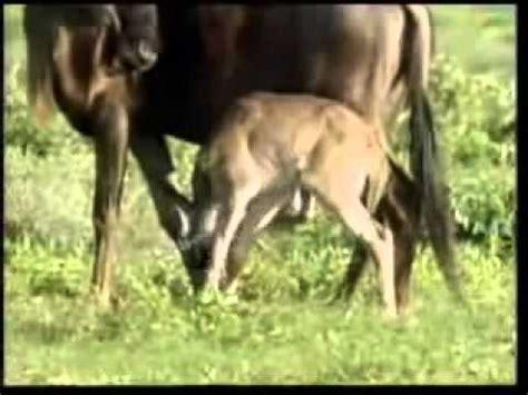 animales salvajes procreando video search engine  searchcom