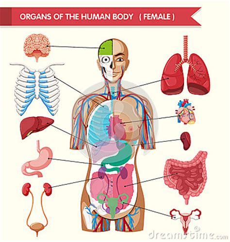mappa organi interni mappe corpo umano bon8blog