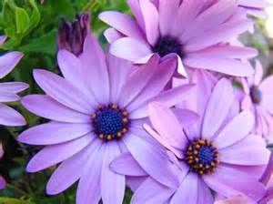 lavender colored flowers daisies lavender purple flowers baslee troutman