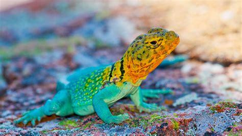 wallpaper crotaphytus collaris mexico lizard colorful
