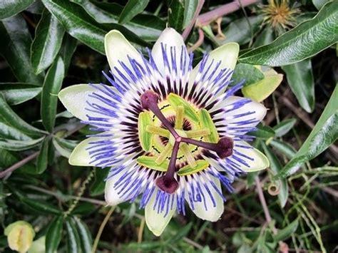 passiflora fiore passiflora ricante ricanti passiflora ricante