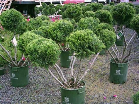 topiary shrub image gallery topiary shrubs