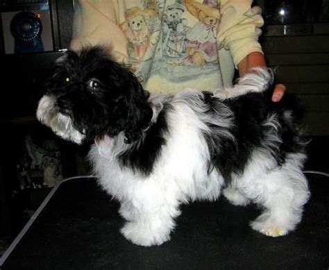 havanese club of america 17 best images about havanese dogs on coats dogs and island