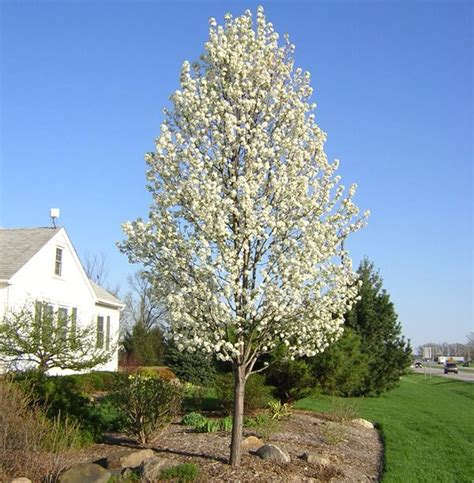 ornamental pear tree fruit cleveland select in bloom ornamental pear landscaping