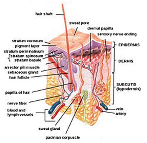 diagram of skin histotechniquesonps5205c nedeljka