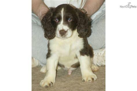 springer spaniel puppies nc springer spaniel for sale for 650 near winston salem carolina