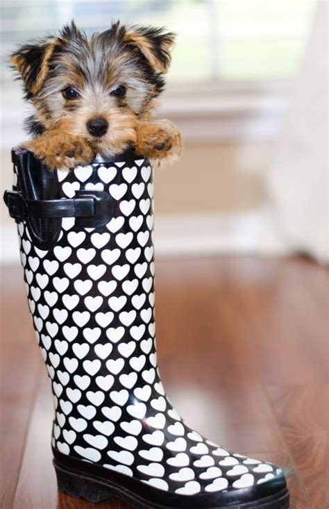 boots for yorkies pictures of yorkie dogs and puppies pets world