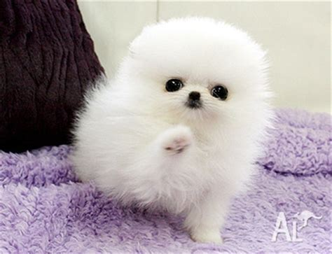 pictures of baby pomeranians uper baby pomeranian puppies for adoption for sale in victor harbor south