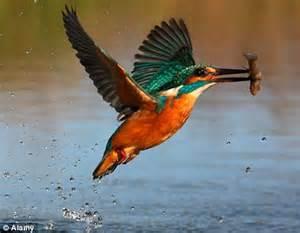 Barn Owl Facts Kingfisher S Record Flight Polish Bird Flies 620 Miles To