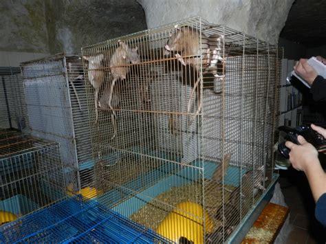 Hamac Pour Rat Fait Maison by Urgent 178 Rats Dans Le 37