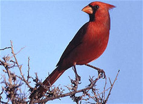 state bird of north carolina the official north carolina state bird the us50