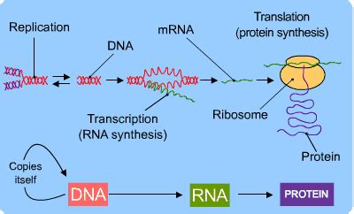 dna replication and protein synthesis venn diagram dna and protein synthesis s cool the revision website