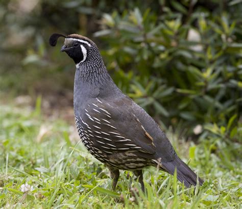 california quail new zealand birds online