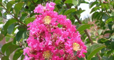 menanam tanaman obat herbal  jamu tradisional bungur