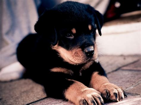 boxer rottweiler puppies german sheperd puppy puppies puppy