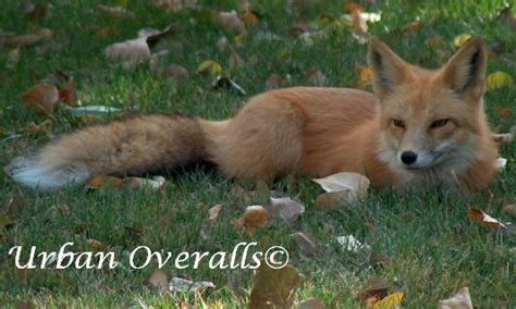 fox in backyard hen house no foxes allowed urban overalls