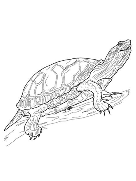 western painted turtle coloring page free printable
