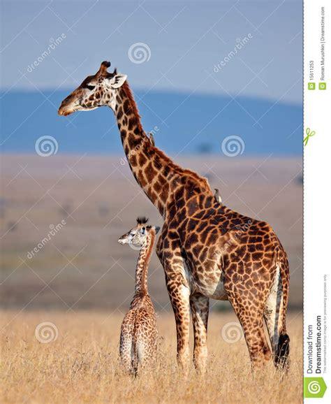 imagenes comicas de jirafas jirafa de la mama y su beb 233 en sabana imagen de archivo