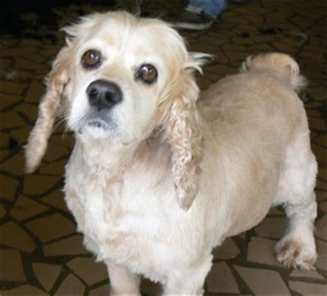 cocker spaniel shih tzu poodle mix carolina poodle rescue newsletter