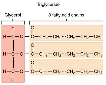 triglyceride molecule diagram related keywords suggestions for triglyceride structure