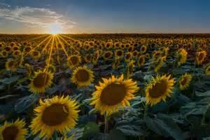 sunflowers in kansas sunflower fields in kansas fm forums
