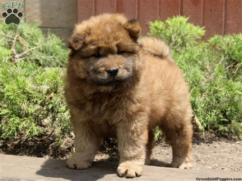 chow chow puppies for sale in pa chow chow puppy for sale in pennsylvania