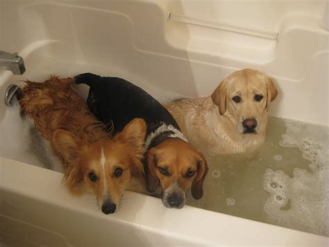 two dogs in a bathtub happy angry sad reaction dogs to bath time