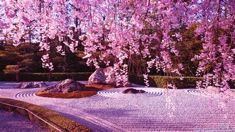 cherry blossom images japanese cherry blossom garden wallpaper http