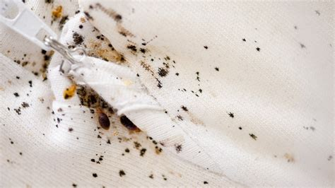 identify bed bugs  bed bug bites angies list