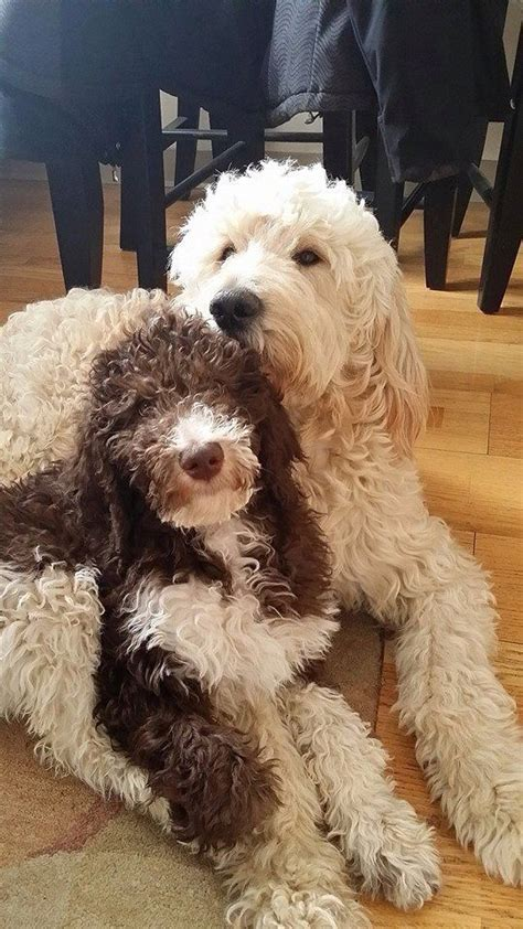 poodle doodle puppies for sale 739 best images about oodles of goldendoodles on