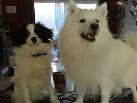 papillon vs pomeranian papillon pomeranian mix