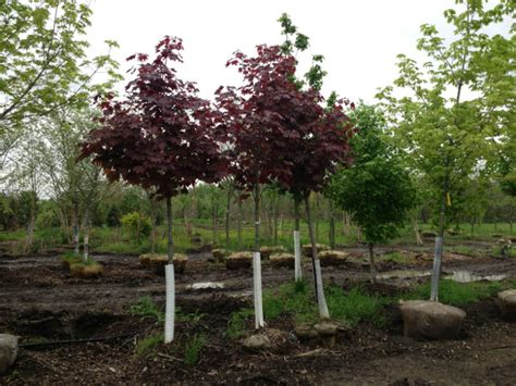 crimson king maple red maple trees for sale buy maples