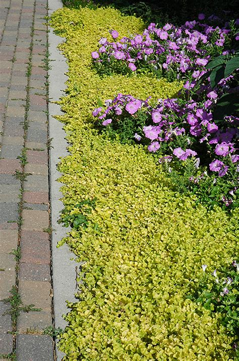 Online Shopping Sites Home Decor by Golden Creeping Jenny Lysimachia Nummularia Aurea In